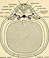 Embryology (1949) (20662846714).jpg