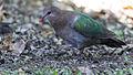 Emerald dove 1 (23381111512).jpg