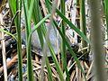 Emys orbicularis, Kyiv 15.JPG