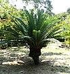 Encephalartus cycad Dar es Salaam Botanical Gardens.jpg