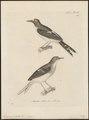 Enicurus velatus - 1700-1880 - Print - Iconographia Zoologica - Special Collections University of Amsterdam - UBA01 IZ16300137.tif