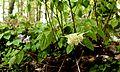 Epimedium grandiflorum - Flickr - odako1.jpg