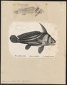 Eques punctatus - 1700-1880 - Print - Iconographia Zoologica - Special Collections University of Amsterdam - UBA01 IZ13400101.tif