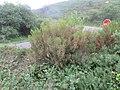 Erica australis 76215266.jpg