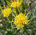 Ericameria discoidea 7.jpg