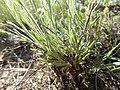 Erigeron pumilus (27587163945).jpg