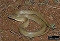 Erythrolamprus poecilogyrus.jpg