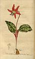 Erythronium dens-canis00.jpg
