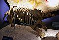 Esquelet de Glossotherium debilis, Museu de Ciències Naturals de València.JPG