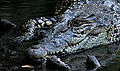 Estuarine crocodile.jpg