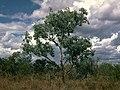 Eucalyptus argillacea habit.jpg