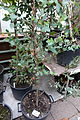 Eucalyptus coccifera - Botanischer Garten, Dresden, Germany - DSC08452.JPG