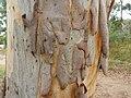 Eucalyptus mannifera bark 2.jpg