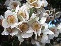 Eucryphia cordifolia-flores.jpg