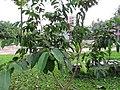 Eugenia cumini (Malabar plum) tree in RDA, Bogra 01.jpg