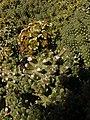 Euphorbia caput-medusae Klaver 02.jpg