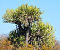 Euphorbia confinalis, b, Olifants.jpg