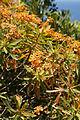 Euphorbia dendroides (plant).jpg