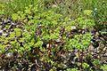 Euphorbia helioscopia in Jardin Botanique de l'Aubrac 02.jpg