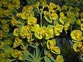 Euphorbia myrsinites 2016-04-19 7953.JPG
