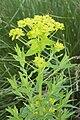 Euphorbia palustris cahon 80 21052007 3.jpg