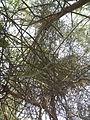 Euphorbia tirucalli (YS) (6).jpg