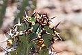 Euphorbia virosa- Gifboom - poison tree-0503 - Flickr - Ragnhild & Neil Crawford.jpg