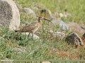 Eurasian Curlew (Numenius arquata) (49279428237).jpg
