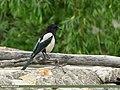 Eurasian Magpie (Pica pica) (25737190918).jpg