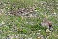 Eurasian Thicknee pair - Along Po river - Italy FJ0A1215 (41224086025).jpg