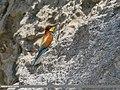 European Bee-eater (Merops apiaster) (48553311316).jpg