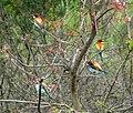 European bee-eater (Merops apiaster) (32401265805).jpg