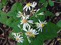 Eurybia divaricata SCA-04290.jpg