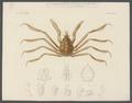 Eurypodius latreillii - - Print - Iconographia Zoologica - Special Collections University of Amsterdam - UBAINV0274 095 20 0002.tif