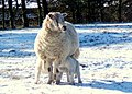 Ewe with two lambs in the snow - geograph.org.uk - 550962.jpg