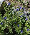 Explorers gentian plant rocks Ediza.jpg