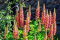 Exploring Ushuai before departure to Antarctica.very similar to N American flowers??. (25903315961).jpg