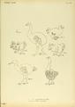 Extinctbirds1907 P25B Didus solitarius0341.png