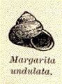 FMIB 52773 Margarita undulata.jpeg