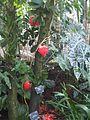 Fabales - Brownea coccinea x latifolia - kew 2.jpg