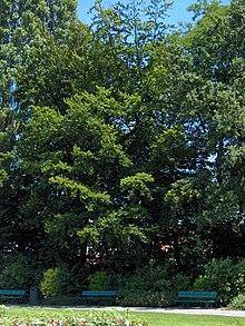 220px-Fagus_sylvatica11.JPEG