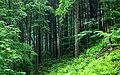 Fagus sylvatica - Picea abies.jpg