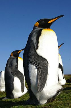 Falkland Islands Penguins 35.jpg
