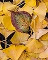 Fallen Leaves (30200016650).jpg