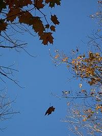 Falling Leaf.JPG