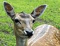 Fallow Deer (14544251043).jpg