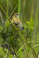 Fan-tailed Grassbird - Natal - South Africa S4E7646 (18675150154) (2).jpg