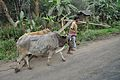 Farmer with Oxen - Indian National Highway 34 - Birohi - Nadia 2013-03-23 6940.JPG