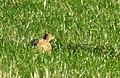 Fasan Common Pheasant (31114521722).jpg