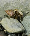 Features Of A Hermit Crab.jpg